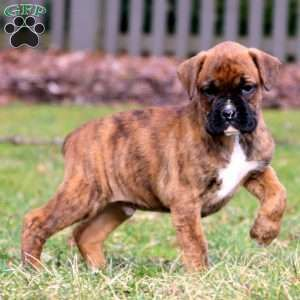 Boxer Puppies For Sale Boxer Puppies Boxer Puppies For Sale