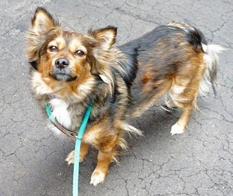 Manhattan Ny Sheltie Shetland Sheepdog Meet Cinnamon A Dog For Adoption Dogs Kitten Adoption Dog Help