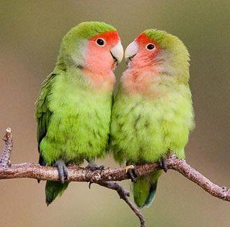 7 Ideas De Cocotio Aves Pajaros Periquitos Loros