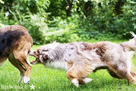 Hund aggressiv