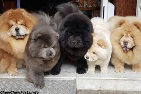 Colors Dog Size Chinese Breed And Facts In 2020 Chow Chow