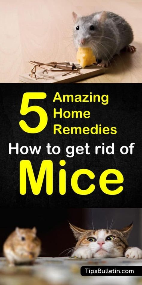 How to Get Rid of Mice - 5 Home Remedies