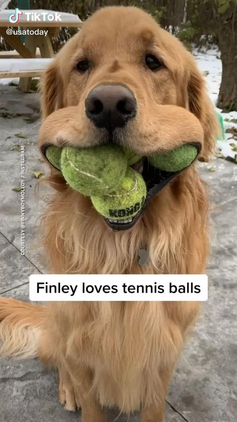 🥎🥎🥎🥎🥎falling in love with tennis balls 👉🏻👉🏻👉🏻👉🏻 we have animal stickers. 🤩🤩🤩Lick link to get. dog, dog lover, cute dog
