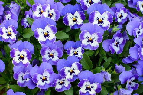 How To Care For Pansies Hunker Pansies Viola Flower Flowers Perennials