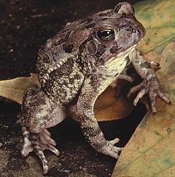 Fowler's toad (Bufo fowleri).