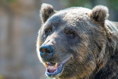 Happy Grizzly Grizzly Grizzly Bear Brown Bear