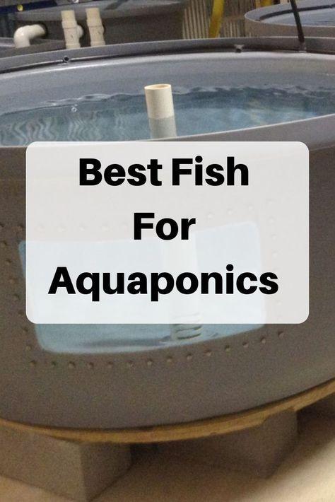 Best Fish for Aquaponics