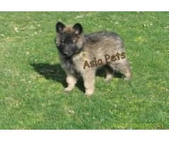 Belgian Malinois Puppies For Sale In Bangalore On Best Price