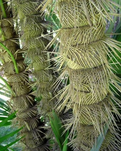 Zombie Palm Ultra Rare Zombia Antillarum Live Plant Bizarre Spiny Trunk 1 Gallon Palms Hardy In Austin Pinterest Plants And Tropical Garden