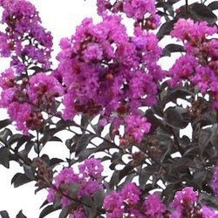 Black Diamond Purely Purple Crape Myrtle Buy At Nature Hills Nursery Crape Myrtle Myrtle Black Diamond