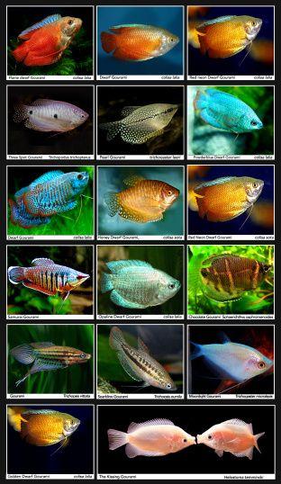 Catfish Price List Scientific Name Common Name Size Pcs Box Fob Price Ancistrus Temminckii L144 Alb Freshwater Aquarium Fish Aquarium Fish Freshwater Fish