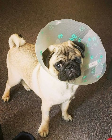 Thank you to @ollie.olliver ==) TAG us to be featured   ... I had some surgery on my eye the other day guys, now I have to have this come on for the next 2 weeks #pug #pugsurgery #pugeyes #puglove #pugs #pugs4life #lovemypug #ollie #pugsnotdrugs #puglife #pugpower