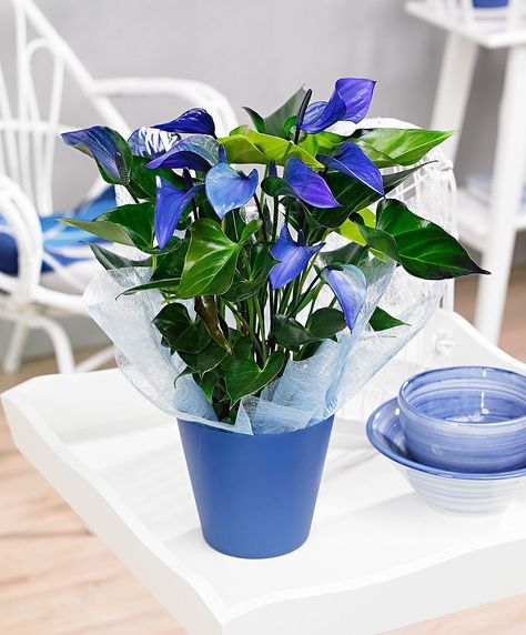 Haal De City Jungle In Huis Met De Blauwe Anthurium Anthurium Anthurium Beautiful Flowers Pictures Anthurium Plant