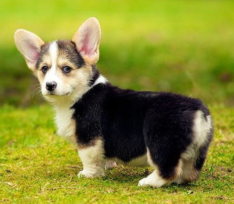 9 Of The Cutest Small Dog Breeds Cute Small Dogs Welsh Corgi