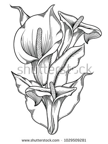 Calla Lilies Drawing In 2020 Lilies Drawing Calla Lily Tattoos Pencil Drawings Of Flowers