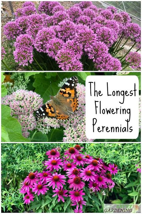 10 of the Longest Flowering Perennials for Your Garden-- These long-flowering perennials will give you months of bold, bright blooms. Please the pollinators and yourself by including these perennials that flower for a long time in your garden. Flowering Ground Cover Perennials, Partial Shade Perennials, Perennial Bushes, Shade Flowers Perennial, Purple Perennials, Perennial Garden Plans, Long Blooming Perennials, Shade Garden Plants, Hardy Perennials