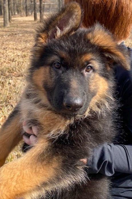 Pin On German Shepherd Puppies