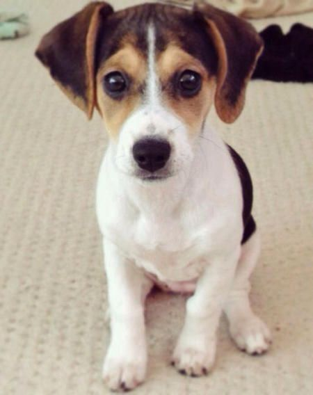 Phoebe a cross between a beagle and a Jack Russell terrier