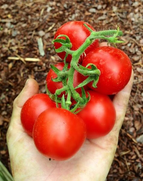 Who says homegrown tomatoes can't be as pretty as those in the supermarket? This 'Rose de Berne' variety impresses those seeking flavor, but also raises the bar for uniform, round fruits in clusters.