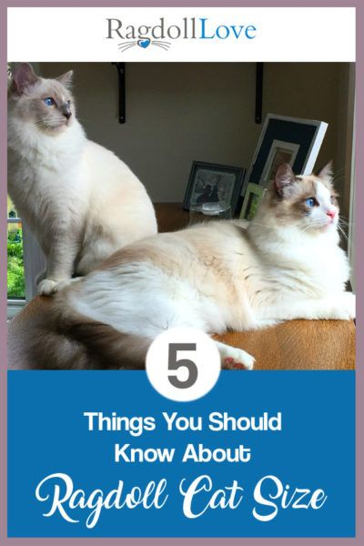 5 Things You Need To Know About Ragdoll Cat Size Ragdoll Cat Ragdoll Ragdoll Cat Breed