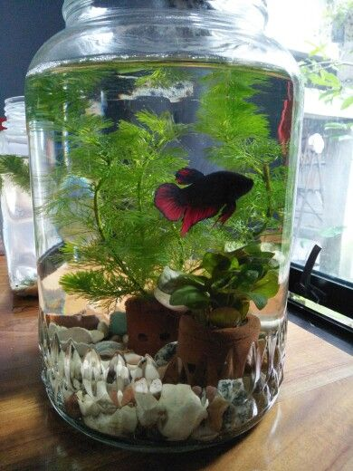 Betta Fish In Mini Aquascape He Is Been Surviving For Couple Of