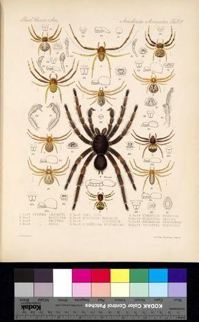 Arachnida Araneidea Vol I Biostor Science Illustration Art
