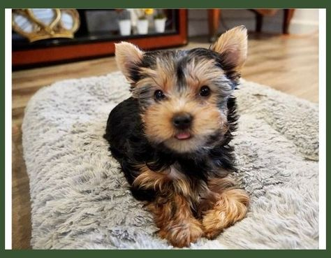 Home Train Your Bulldog Puppy A Stress Free Simple Method For House Simple To Comprehend And Am Conf In 2020 Yorkie Puppy For Sale Puppies For Sale Dogs For Sale
