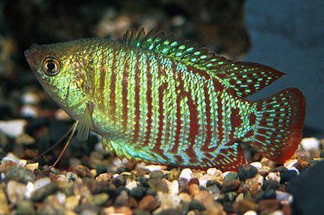 Dwarf Gourami Colisa Lalia Tropical Fish Fish Pet Freshwater Aquarium Fish