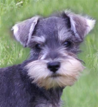 Pin By Ksenia Kowal On Schnauzers In 2020 Rescue Puppies Schnauzer Puppy Miniature Schnauzer Puppies