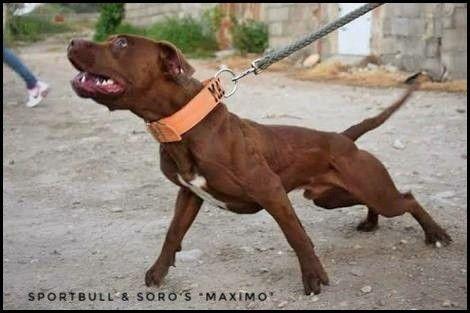 Sportbulls Maximo   - Ameri… | American Pit bull Terrier