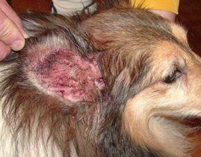 Dog Ear Infections Dogs Ears Infection Dog Ear Wash Dog Ear