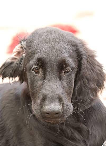 Kleine Hundezucht Mit Flat Coated Retriever Golden Retriever Aus Mainz Flatwelpen In Schwarz Labrador Retriever Animals Best Dogs