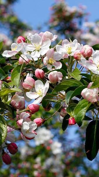 Malus Professor Sprenger Crab Apple Professor Sprenger Apple Tree Blossoms Crabapple Tree Spring Flowering Trees