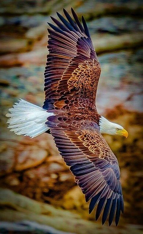 The Bald Eagle - finest of all the Eagles! The Eagles, Types Of Eagles, Bald Eagles, Exotic Birds, Colorful Birds, Yellow Birds, Colorful Animals, Tropical Birds, Nature Animals