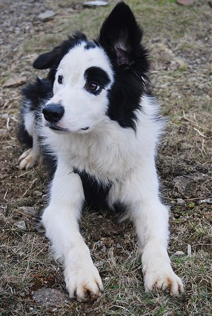 Puppy Dog Black And White Spots Floppy Ears So Cute Adorable