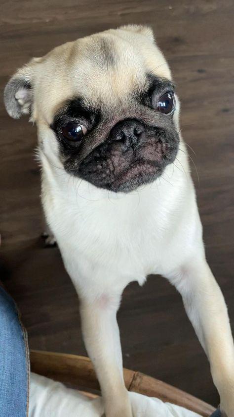 #dog #pug #puglife #pugsofinstagram #cutedog #mops #chien #mignon #chienmignon