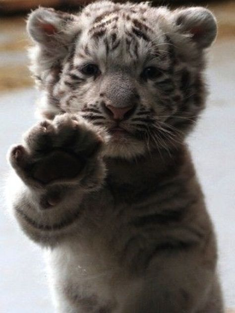 Baby Tiger...I want to cuddle and snuggle it, without getting my face chewed.