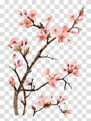 Pink Flowering Tree Cherry Blossom Watercolor Painting Drawing Drawing Peach Transpare Cherry Blossom Watercolor Cherry Blossom Drawing Cherry Blossom Images