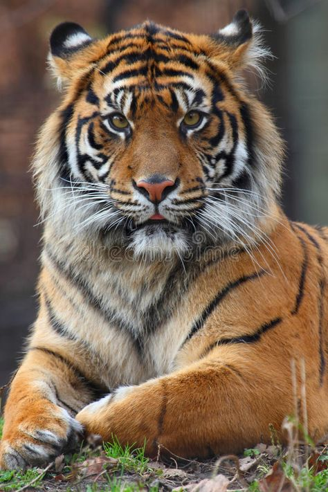The undisputed king of the jungle. An adult male siberian tiger can reach up to in weight rivaling the size of prehistoric cats like the cave lion homotherium and smilodon. The Animals, Animals Images, Cute Baby Animals, Wild Animals, Strange Animals, Amazing Animals, Majestic Animals, Beautiful Cats, Animals Beautiful