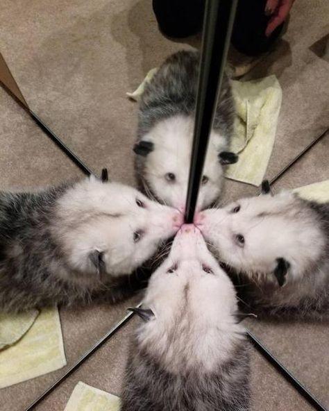 Possum Every Hour on Twitter: …