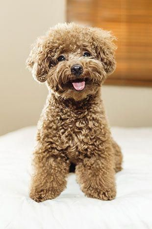 Sneaky Puppy Dog Breeds Poodle Puppy