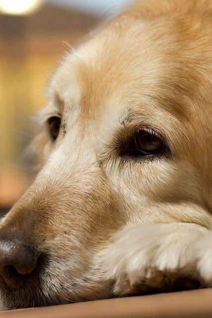 Goldenretriever Retriever Puppy Dogs Golden Retriever Dogs