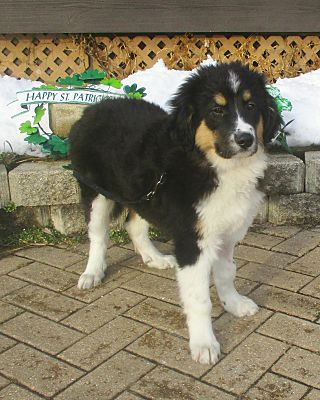West Chicago Il Bernese Mountain Dog Meet Cormack A Pet For Adoption Mountain Dogs Pet Adoption Bernese Mountain Dog
