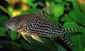 Corydoras Nanus Mini Cory Nanus Cory Cat Tropical Fish Diszhal Info Tropical Fish Fish Aquarium Fish