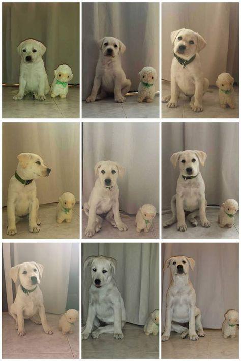 My Cute Labrador Retriever Growth Chart In 9 Weeks Cao E Gato