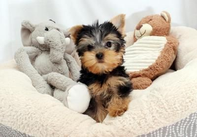 Lovely Male And Female Yorkshire Puppies Teacup Yorkie Puppy
