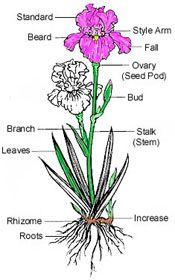 Pin By Ivan Byam On Diagrams Charts Iris Art Iris Tattoo Bearded Iris