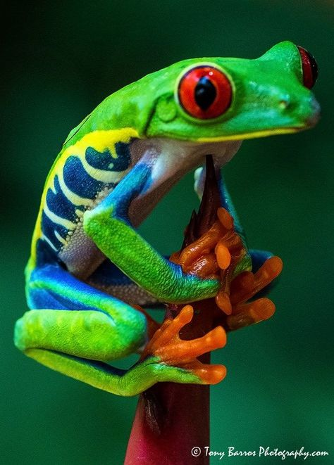 The Red Eyed Tree Frog - #Eyed #frog #Red #Tree
