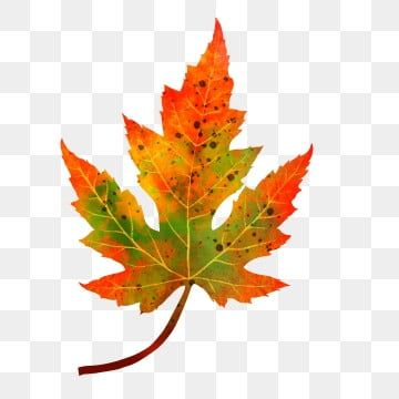Autumn And Winter Maple Leaves Hand Drawn Plant Simple Maple Leaf Clipart Autumn And Winter Maple Leaf Png Transparent Clipart Image And Psd File For Free Do Maple Leaf Clipart Leaf