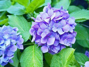 Dlaczego Hortensja Nie Kwitnie Video Hydrangea Garden Plants
